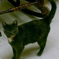 Photo 1 - Domestic Shorthair Cat for adoption in Milwaukee, Wisconsin - Olivia