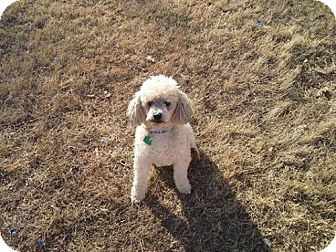 Poodle (Miniature) Dog for adoption in Seymour, Connecticut - Bama (Owner Surrender)