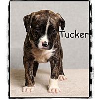 Adopt A Pet :: Tucker - Warren, PA