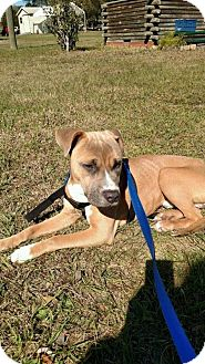 Terrier (Unknown Type, Medium)/American Pit Bull Terrier Mix Puppy for adoption in Orlando, Florida - Gus