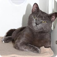 Domestic Shorthair Cat for adoption in Venice, Florida - Oakley