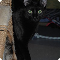Domestic Shorthair Cat for adoption in Lafayette, New Jersey - Frack