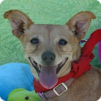Chihuahua/Dachshund Mix Dog for adoption in Vacaville, California - Butterscotch