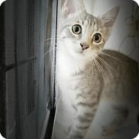 Domestic Shorthair Kitten for adoption in New York, New York - Emy