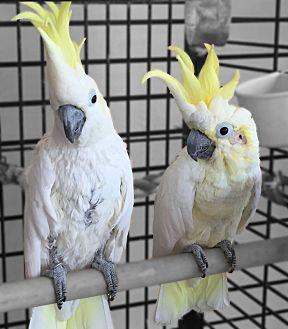Cockatoo for adoption in Villa Park, Illinois - No Names