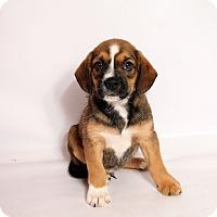 Adopt A Pet :: Todd Beagle Mix - St. Louis, MO
