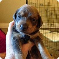 Adopt A Pet :: July/Marlee litter girl 4 - Wenonah, NJ