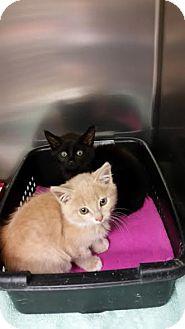 Domestic Shorthair Kitten for adoption in Chippewa Falls, Wisconsin - Jill