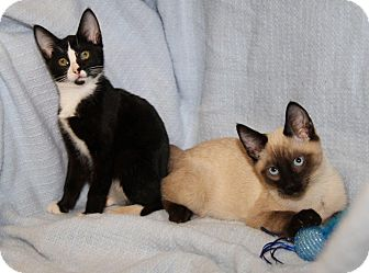 Siamese Kitten for adoption in Orland Park, Illinois - Olivia & Oliver (Bonded Pair)
