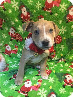 Pit Bull Terrier/Labrador Retriever Mix Puppy for adoption in Atlanta, Georgia - Zack