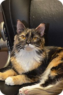 Calico Cat for adoption in Mt. Airy, North Carolina - Emily