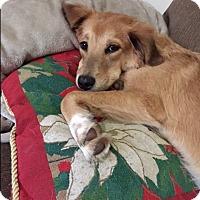 Adopt A Pet :: Vivian~meet me! - Glastonbury, CT