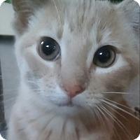 Adopt A Pet :: Twinkle (13 week girl) - Witter, AR