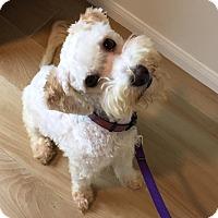 Adopt A Pet :: Zuzu - Redondo Beach, CA