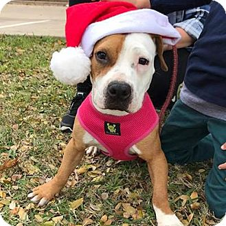 Pit Bull Terrier/Beagle Mix Dog for adoption in Dallas, Texas - Honey