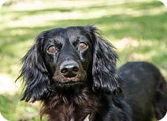 Dachshund Dog for adoption in Pearland, Texas - Benedict