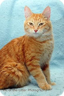 Domestic Mediumhair Cat for adoption in Scottsdale, Arizona - Flower