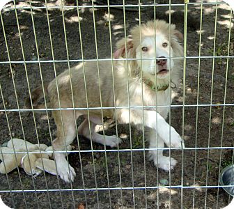 Golden Retriever/Terrier (Unknown Type, Medium) Mix Puppy for adoption in Daleville, Alabama - Sarge