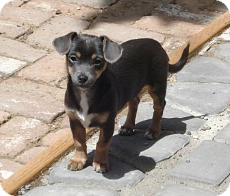 daisy adopted puppy bend or dachshund chihuahua mix