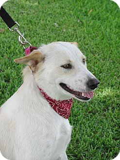 ... Retriever/Blue Heeler Mix Dog for adoption in Wharton, Texas - Nikki