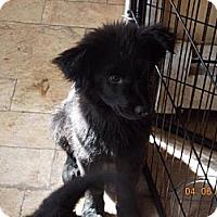 Adopt A Pet :: Teddy Bear - Rome, NY