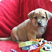 Adopt A Pet :: ZEUS - Loxahatchee, FL