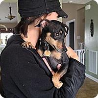 Adopt A Pet :: Macey - Nashville, TN