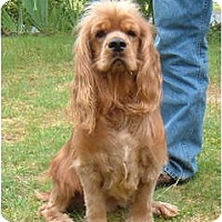 Adopt A Pet :: Clancey 2 - Tacoma, WA