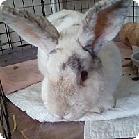 Adopt A Pet :: Amelia - Watauga, TX