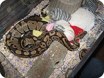 Snake for adoption in Christmas, Florida - 7-Ball pythons