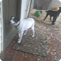 Adopt A Pet :: Chipper - Franklin, TN