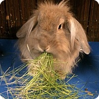 Adopt A Pet :: BunnyLove - Hammond, IN