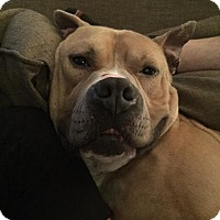 Adopt A Pet :: *AARF* - Smitty - Detroit, MI