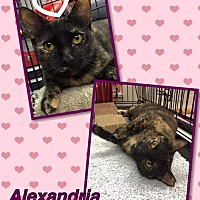Calico Cat for adoption in Atco, New Jersey - Alexandria