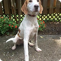 Hound (Unknown Type) Dog for adoption in Raleigh, North Carolina - Marla