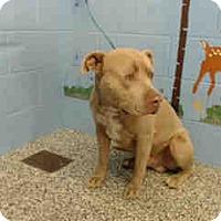 Pit Bull Terrier Dog for adoption in San Bernardino, California - URGENT ON 10/8  San Bernardino