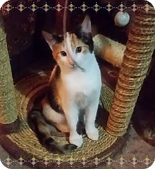 Calico Kitten for adoption in Okotoks, Alberta - Daisy