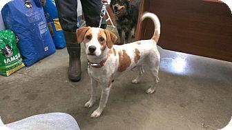 Beagle Mix Dog for adoption in Aurora, Illinois - Rosco