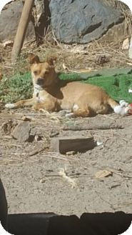 Chihuahua Dog for adoption in C/S & Denver Metro, Colorado - Horton 1 Year