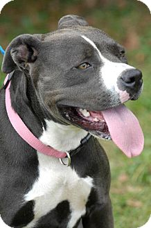 Pit Bull Terrier Dog for adoption in Johnson City, Tennessee - nyla