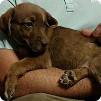 Labrador Retriever Mix Puppy for adoption in Battleboro, Vermont - Beans