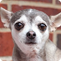 Chihuahua Mix Dog for adoption in College Station, Texas - Mocha (7 pounds)