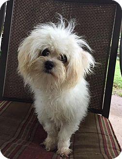 Maltese Mix Dog for adoption in Sacramento, California - Cotton