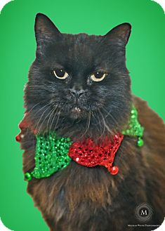 Domestic Longhair Cat for adoption in St. Louis, Missouri - Maize