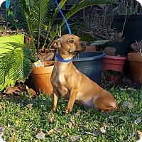 Adopt A Pet :: MINI JOI - Houston, TX