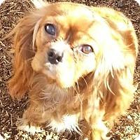 Adopt A Pet :: Duchess - Hartford, CT