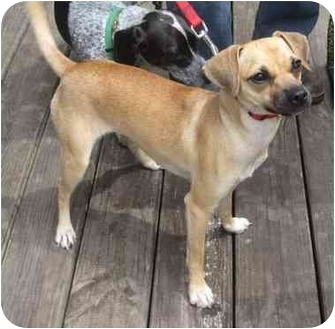 jack russell pug mix puppy chloe adopted dog moon township pa jack russell 5906