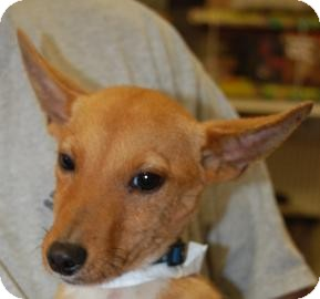 dingo adopted puppy 17479558 brooklyn ny basenji mix