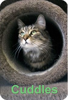 Domestic Mediumhair Cat for adoption in Medway, Massachusetts - Cuddles
