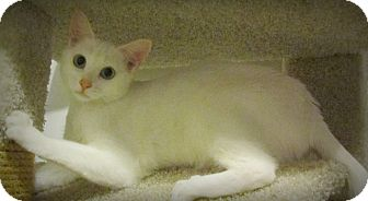 Domestic Shorthair Kitten for adoption in Seminole, Florida - Snowflake